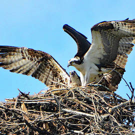 Jerry Griffin - Osprey Pair