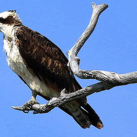 Osprey Ready to Hunt  by Rob Wallace Images