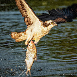 Osprey With Breakfast 9410 by Dan Beauvais