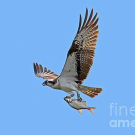 Osprey With Fish by Arterra Picture Library