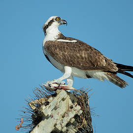 Elizabeth Waitinas - Osprey with his Catch