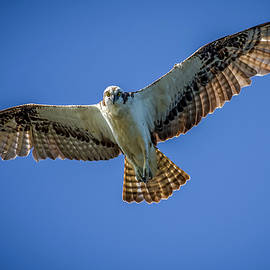 Osprey with His Eye on Me by TJ Baccari