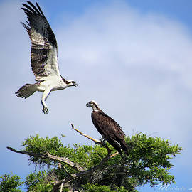 Ospreys At Blue Cypress Lake by Michele A Loftus