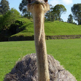 Ostrich Hello by Phil Banks