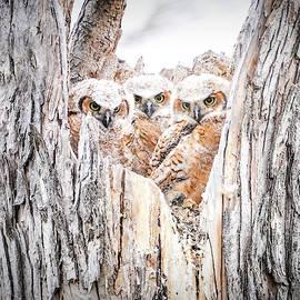 Owl  Baby Triplets by Judi Dressler