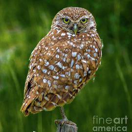 Burrowing Owl by Debra Kewley