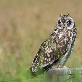 Owl Staring by Pamela Walton