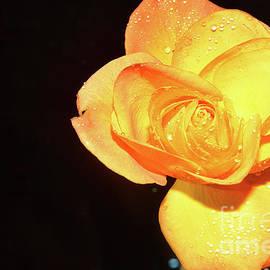 P8-yellow Rose by Elvira Ladocki