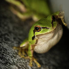 Pacific Tree Frog Stare by Jean Noren