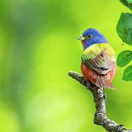 Painted Bunting by Don Champlin