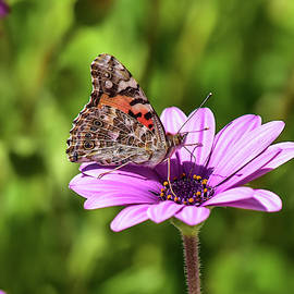 Painted Lady 1 by Linda Brody
