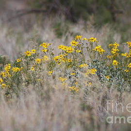 Painted Lady And Brittle Bush Salton Sea by Colleen Cornelius