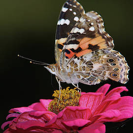 Painted Lady Butterfly by Ernie Echols