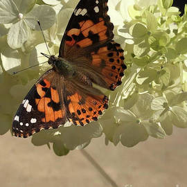 Painted Lady Butterfly on Hydrangea  by Karen Adams