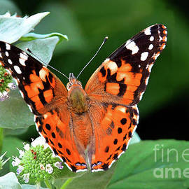 Painted Lady Feeding on Mountain Mint by Regina Geoghan