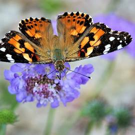 Painted Lady On A Pin by Barbara Chichester