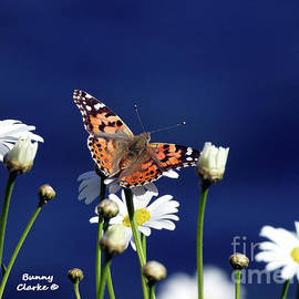 Painted Lady on Daisies by Bunny Clarke