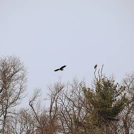 Scott Burd - Pair Of Bald Eagles