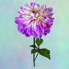 Pale Pink and White Dahlia by Susan Savad