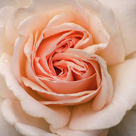 Pale Pink Rose by Don Johnson