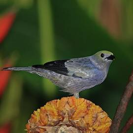 Palm Tanager by Marlin and Laura Hum