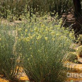 Palo Brea Blossoms Around Desert Milk Weed by Colleen Cornelius