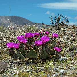Panamint Cactus by Stephen Whalen