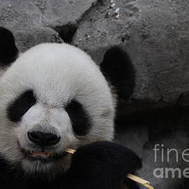 Panda eating no 3 by Dwight Cook
