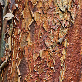Paperbark Maple Tree Bark by Tim Gainey
