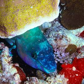 Parrot Fish Takes Cover by Christina Ford