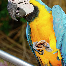 Parrot Holding Walnut by Sally Weigand