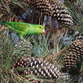 Parrot in a Pine Tree by David Farlow