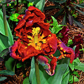 Parrot King Tulip 005 by George Bostian
