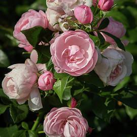Passed best and promise. Rose Hans Gunewein by Jouko Lehto