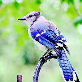 Peaceful - North American Blue Jay      by Alida M Haslett