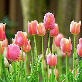 Peach and Coral Tulips by Mary Ann Artz