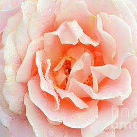 Peach Blush Rose Portrait by Regina Geoghan