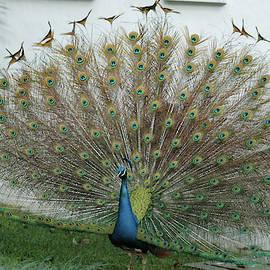 Peacock as its best by Brigitta Diaz