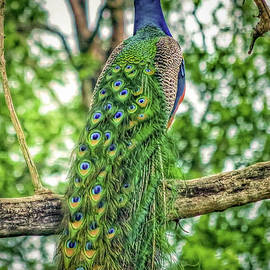 Peacock Beauty by Peggy Franz