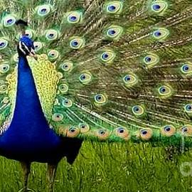 Peacock Display by Kathy White