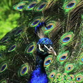 Peafowl Beauty by Karol Livote