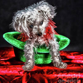 Peanut - A toy poodle by Robert McAlpine