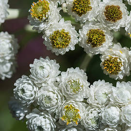 Pearly White Everlasting by Robert Potts