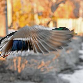 Peekaboo in-flight by Asbed Iskedjian