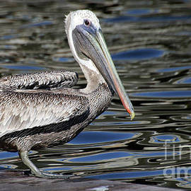 Pelican-2054 by Gary Gingrich Galleries
