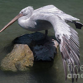 Pelican On The Rock by Michelle Meenawong