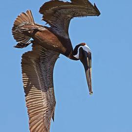 Pelican Pre-Dive by Larry Nieland