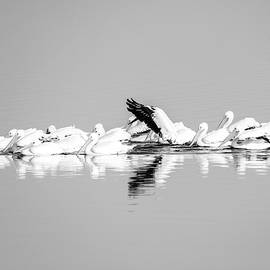 Pelican Reflections Black And White by Dan Sproul