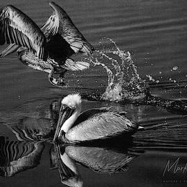 Pelican Takes Flight by Mark Fuge