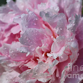 Peony after a Summer Shower by Sandra Huston